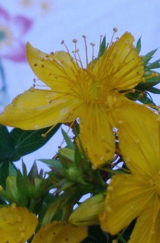 Lesdag 8:  Eetbare vaste planten en bloemen